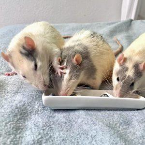 rat pushing another rat away from food dish