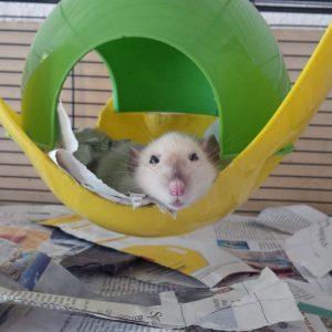 rat resting in hideaway in cage
