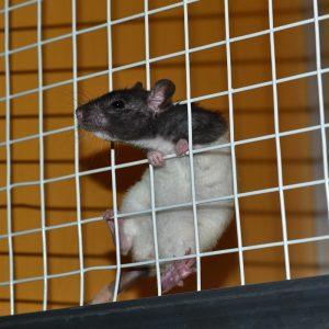 rat climbing cage wall