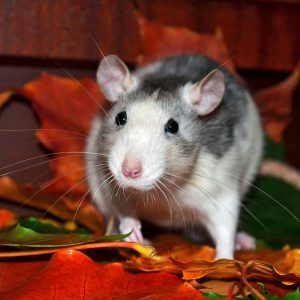 rat standing on fake leaves