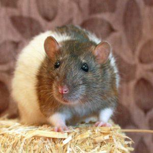 rat standing on hay