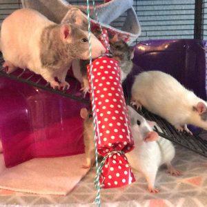rats with treat tube
