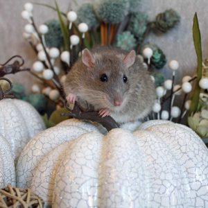 rat posed on holiday decor