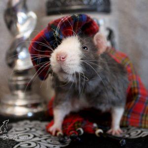 rat wearing scottish tam and kilt
