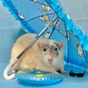 rat posed beneath tiny umbrella with tiny pool float and sunglasses