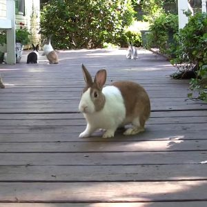 Dutch rabbits on porch