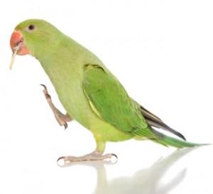 Ring Necked Parakeet Food