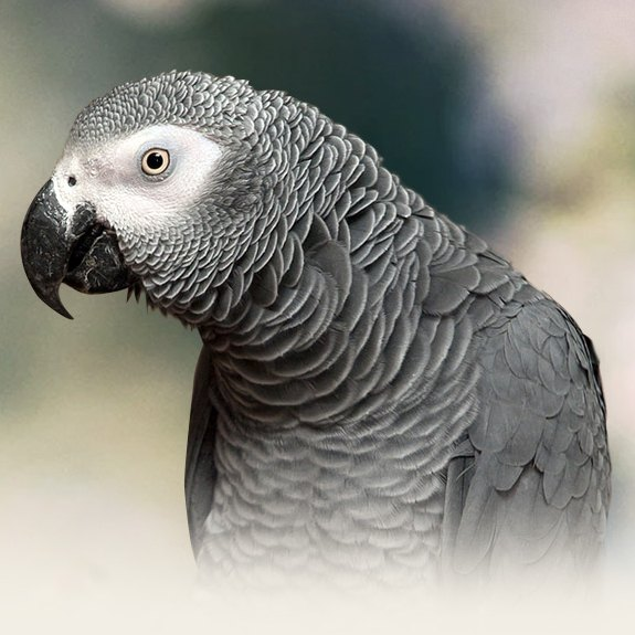 African Grey Parrot Personality, Food & Care