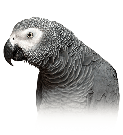 African Grey Parrot Personality, Food & Care – Pet Birds by