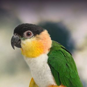 Caique, white-bellied caique