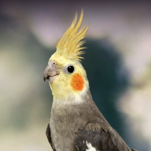 cockatiel personality food care pet birds by lafeber co