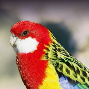 Golden-Mantled Rosella