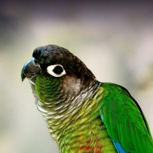 Green-Cheeked Conure Personality, Food & Care – Pet Birds by Lafeber Co
