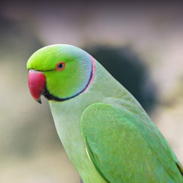 Indian Ring Necked Parakeet Personality Food Care Pet Birds