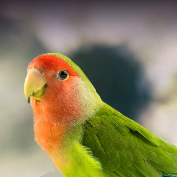 Lovebird Personality, Food & Care