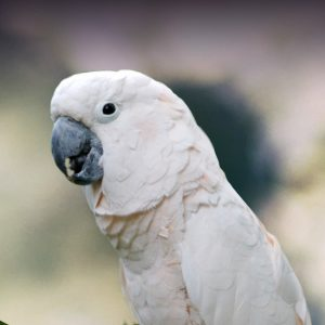 Image result for moluccan cockatoo