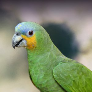 orange-winged Amazon parrot