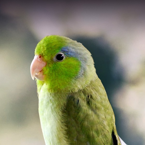 Parrotlet Personality Food Care Pet Birds By Lafeber Co