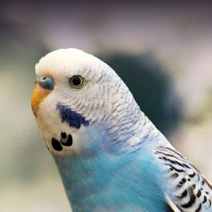 Budgie (Parakeet) Personality, Food & Care – Pet Birds by