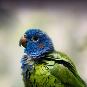 Blue-Headed Pionus Personality, Food & Care – Pet Birds by