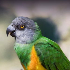 Senegal Parrot Personality, Food & Care – Pet Birds by Lafeber Co