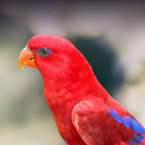 Red Lory Personality Food Care Pet Birds By Lafeber Co