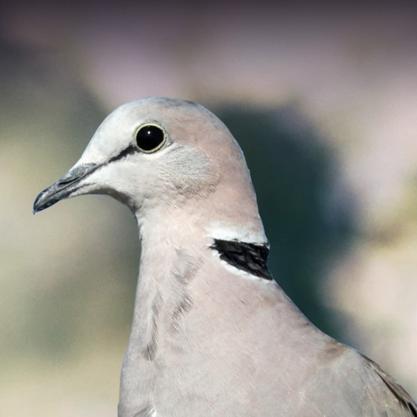 Ring-Necked Dove Personality, Food & Care – Pet Birds by Lafeber Co
