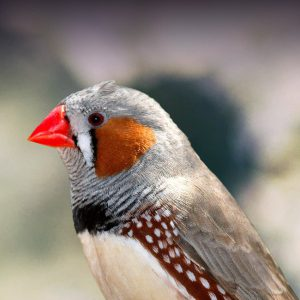 Zebra Finch Personality, Food & Care – Pet Birds by Lafeber Co