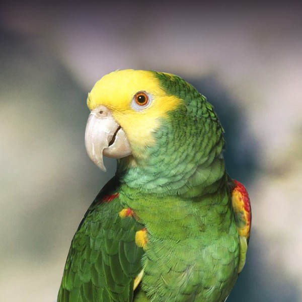 Double Yellow Headed Amazon Parrot Personality Food Care Pet Birds By Lafeber Co