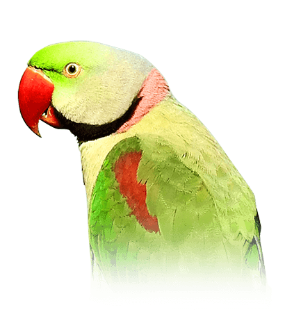 Alexandrine Parakeet Personality Food Care Pet Birds By Lafeber Co