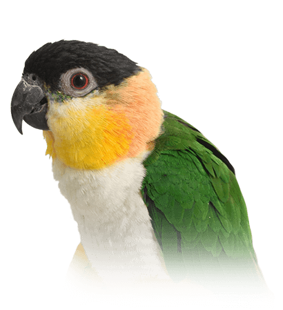 Caique Personality, Food & Care – Pet Birds by Lafeber Co