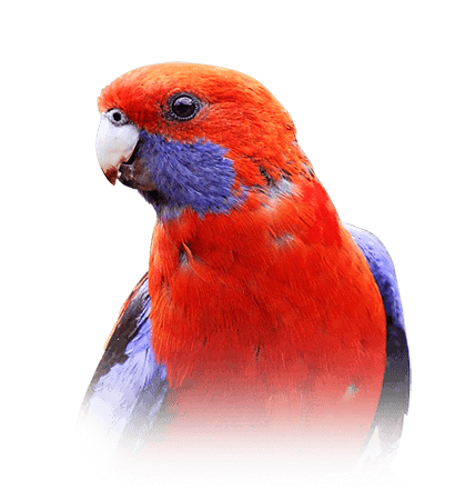 Rosella Personality Food Care Pet Birds By Lafeber Co