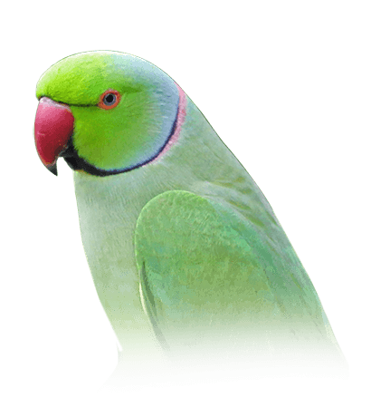 Indian Ring-Necked Parakeet Personality, Food & Care – Pet