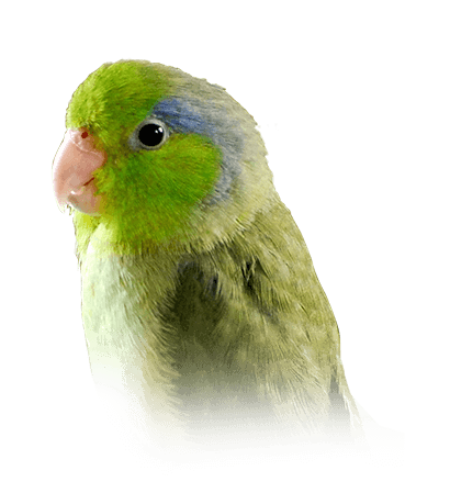 Pacific Parrotlet Personality, Food & Care – Pet Birds by