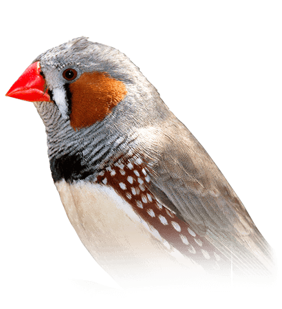 Zebra Finch Personality Food Care Pet Birds By Lafeber Co