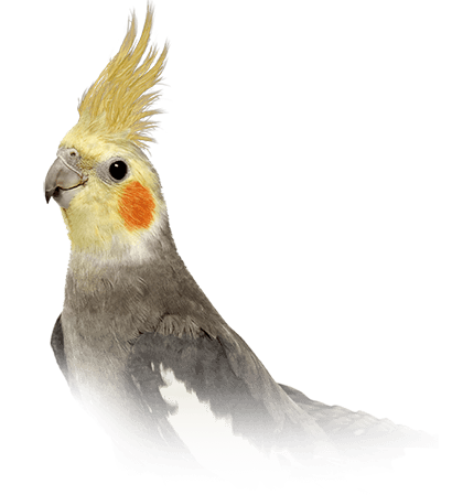 Cockatiel Personality, Food & Care – Pet Birds by Lafeber Co