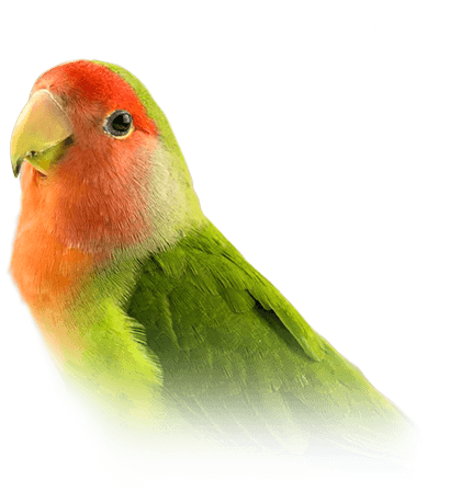 Lovebird Personality, Food & Care – Pet Birds by Lafeber Co