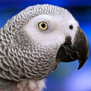 African grey haedshot