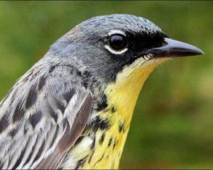 Kirtland's Warbler Gets Some Habitat Help