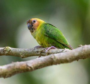 pygmy parrot