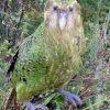 kakapo parrot