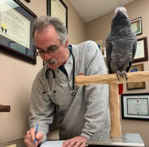 African grey parrot