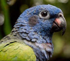 Pionus parrot