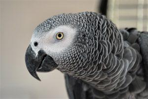 African grey parrrot