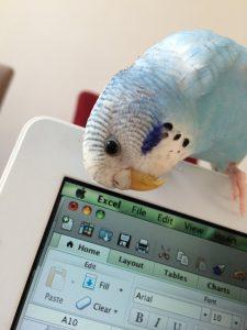 parakeet, budgie