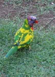 rainbow lorikeet (pied mutation)