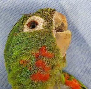 Prosthetic Beak Saves Injured Wild Parrot