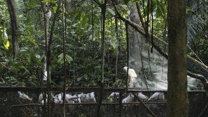 cockatoos in Indonesia