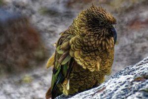 kea parrot, alpine parrot