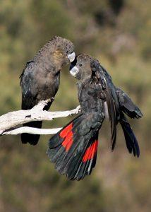 Glossy Black Cockatoo pair